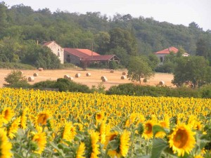 B-Sunflowers-7-06-Brantome-